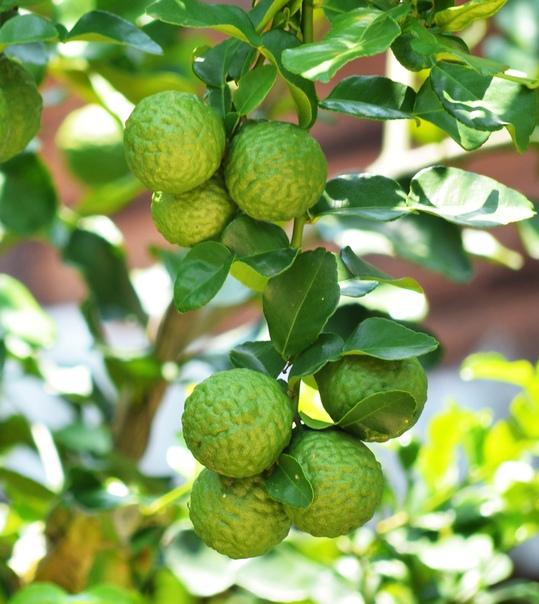 Про чай с бергамотом знают все, но не каждый догадывается, как выглядит этот самый бергамот и что это такое Бергамот - это гибридный вид искусственно выведенного растения рода Цитрус. Растение