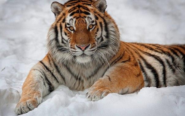 Скачать Обои На Рабочий Стол Тигра