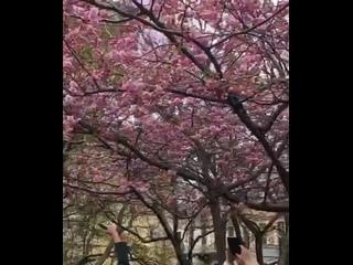 В Саду дружбы на Литейном вовсю цветёт сакура. Толкучка за лучшими кадрами началась.