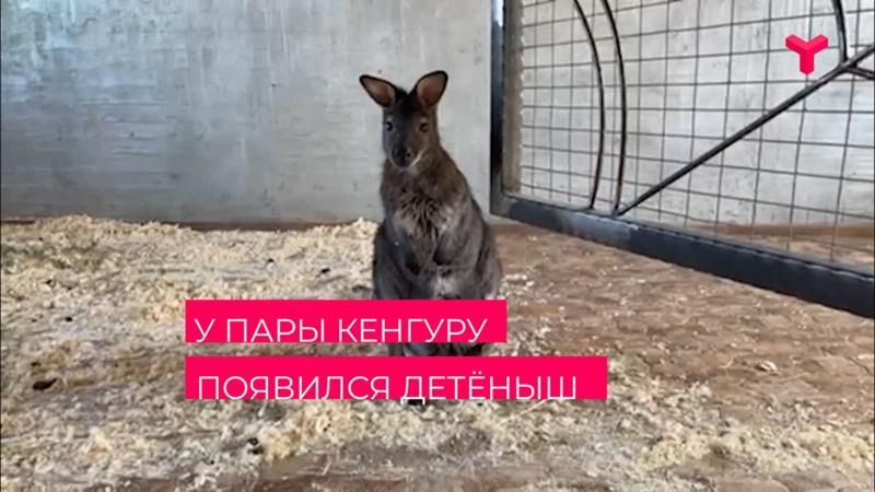 У пары кенгуру появился детёныш Тюмень