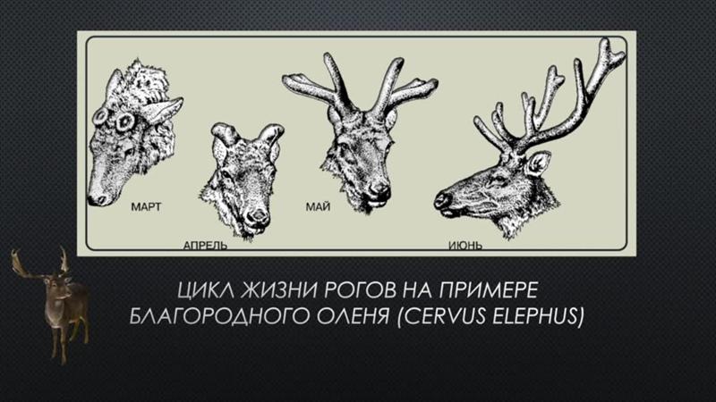 Лекция об одомашнивании оленей