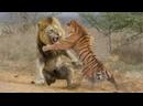 ЛЕВ В ДЕЛЕ! Львы против крокодила, гиен, буйволов