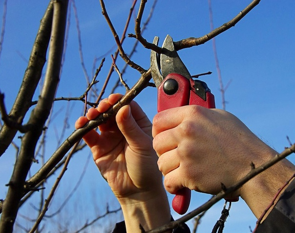 #сафоново Образка плодовых деревьев и кустарников ...