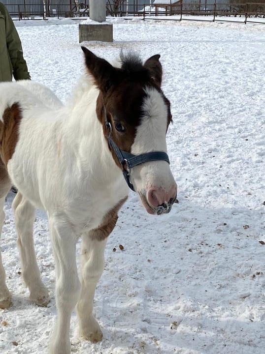 Жеребёнку из Ижевского зоопарка дали имяКритерием выбора