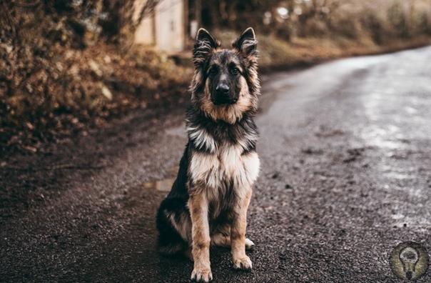 10 САМЫХ УМНЫХ СОБАК Рассказываем про породы, отличающиеся высоким интеллектом. Сколько пород собак существует на данный момент в мире Кинологи насчитали более 400. Они отличаются не только по