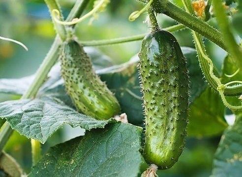 что делать с огурцами и томатами, если идут дожди несмотря на то, что огурцы — известные водохлебы, слишком сильные дожди для них — большой стресс и угроза. повинуясь инстинкту самосохранения,