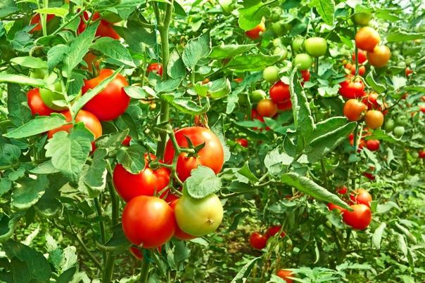 3 приема, повышающие урожайность томатов